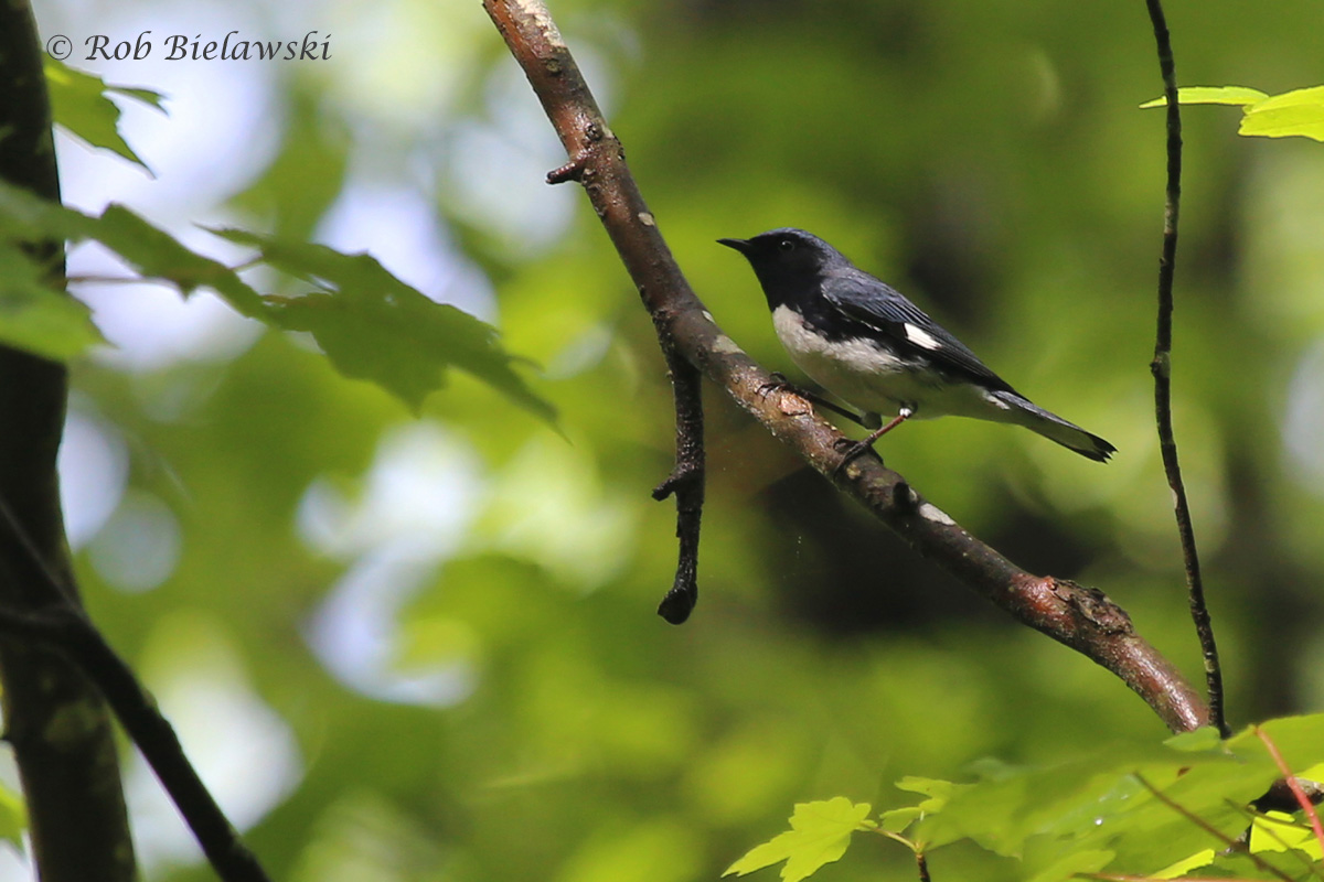 Black-throated Blue Warbler / 3 May 2016 / Red Wing Park
