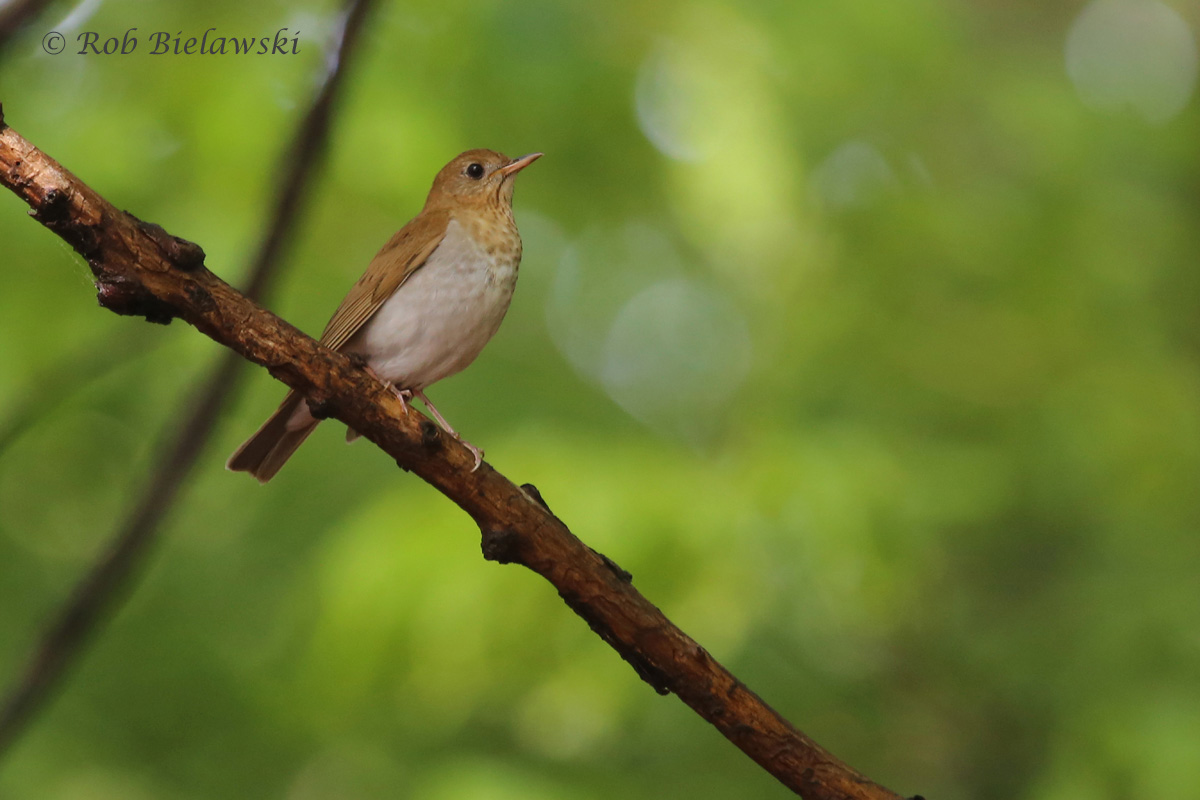 Veery / 3 May 2016 / Red Wing Park