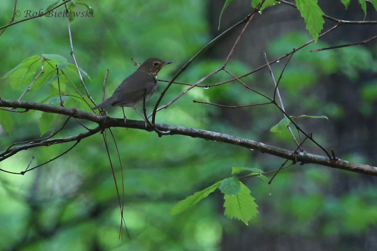 Swainson's Thrush / 3 May 2016 / Red Wing Park
