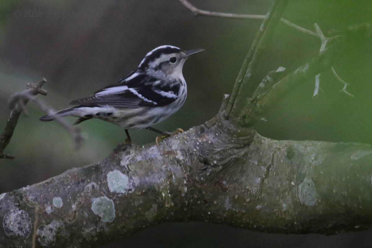 Black-and-white Warbler / 4 May 2016 / Back Bay NWR