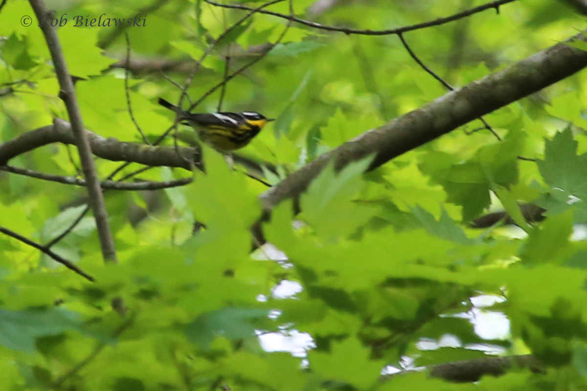 Magnolia Warbler / 8 May 2016 / Red Wing Park