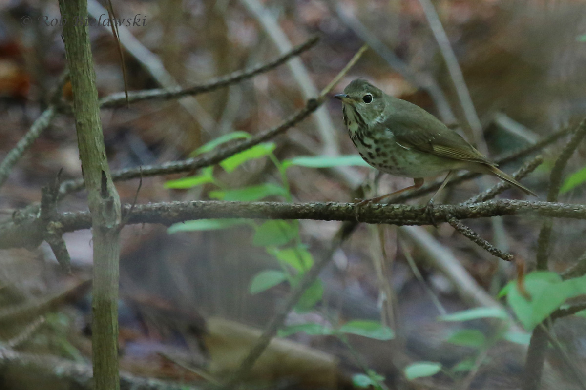 Hermit Thrush / 8 May 2016 / Red Wing Park