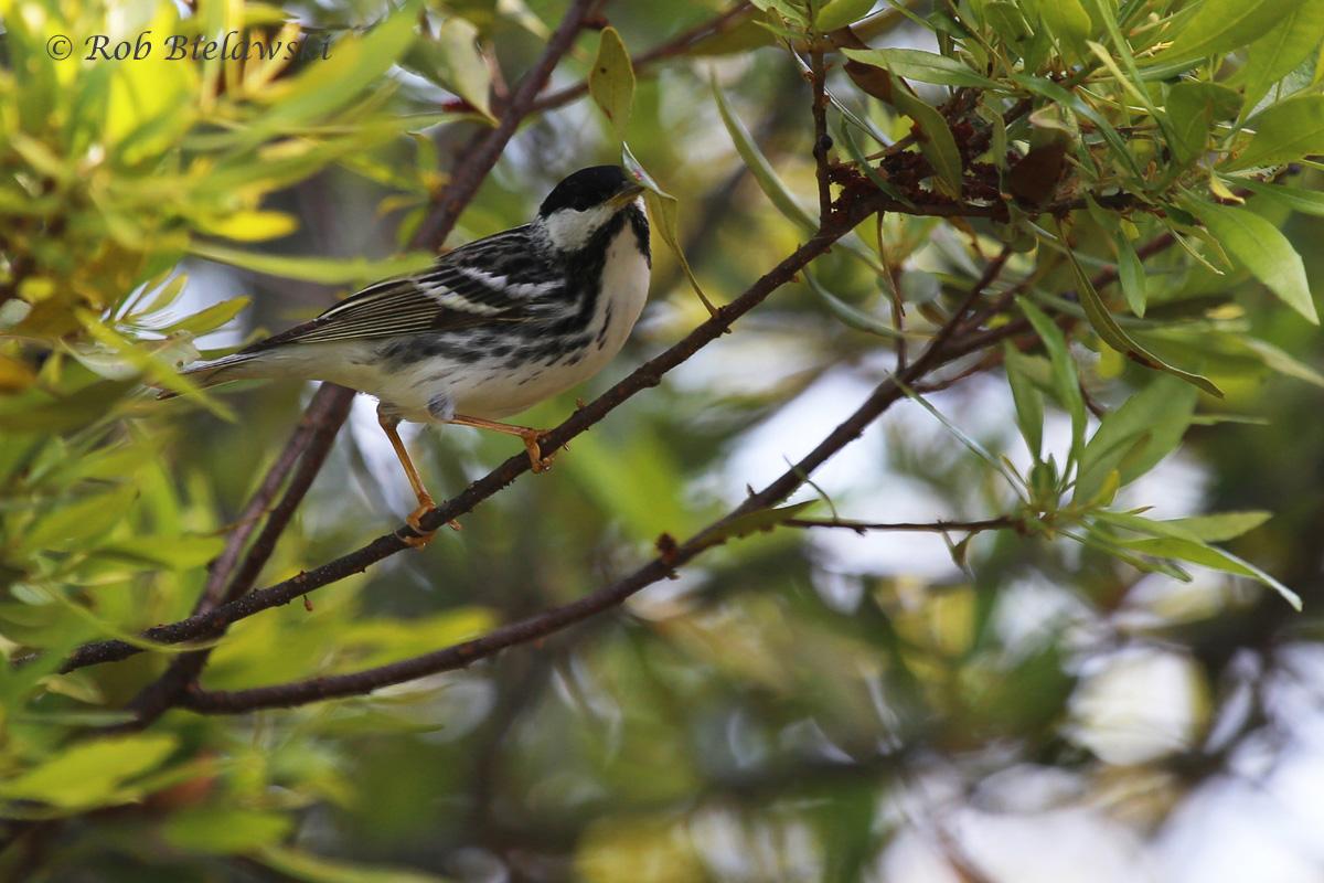 Blackpoll Warbler / 16 May 2016 / Back Bay NWR