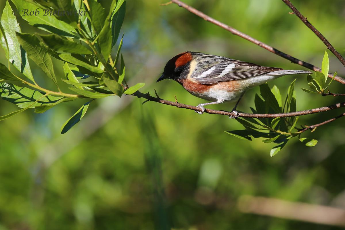 Bay-breasted Warbler / 16 May 2016 / Back Bay NWR