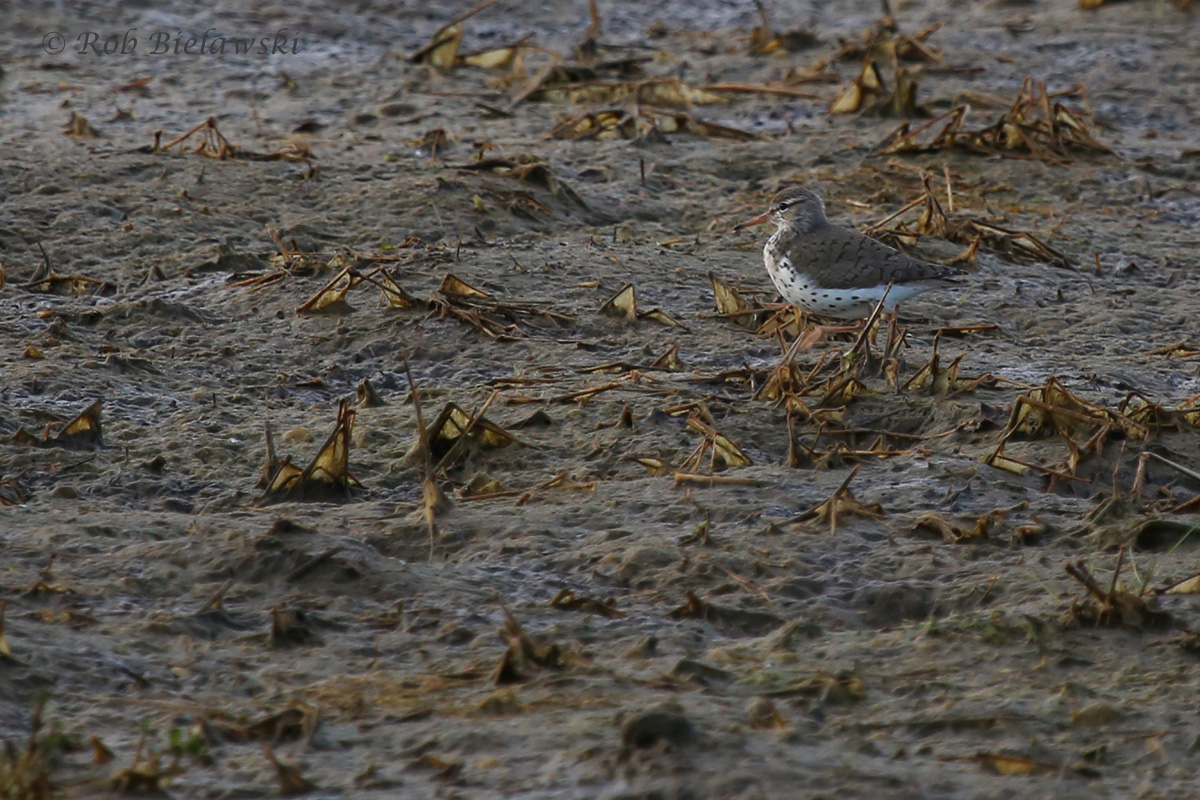 Spotted Sandpiper / 16 May 2016 / Princess Anne WMA Beasley Tract
