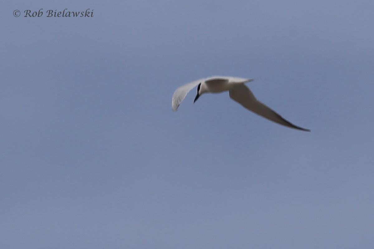 Gull-billed Tern / 20 May 2016 / Back Bay NWR