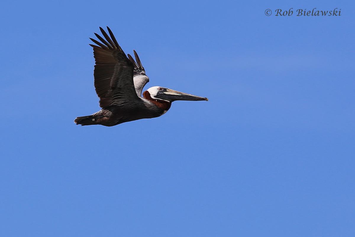 Brown Pelican / 20 May 2016 / Back Bay NWR