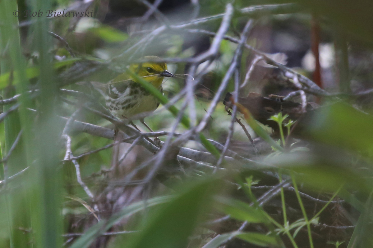 Black-throated Green Warbler / 20 May 2016 / Back Bay NWR