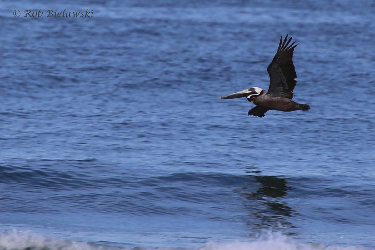 Brown Pelican / 24 May 2016 / Back Bay NWR