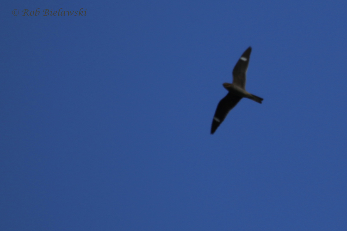 Common Nighthawk / 24 May 2016 / Back Bay NWR