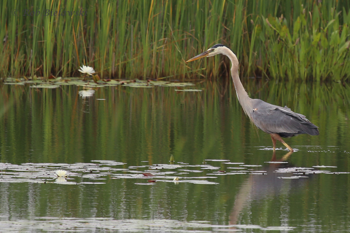 Great Blue Heron / 4 Jun 2016 / Back Bay NWR