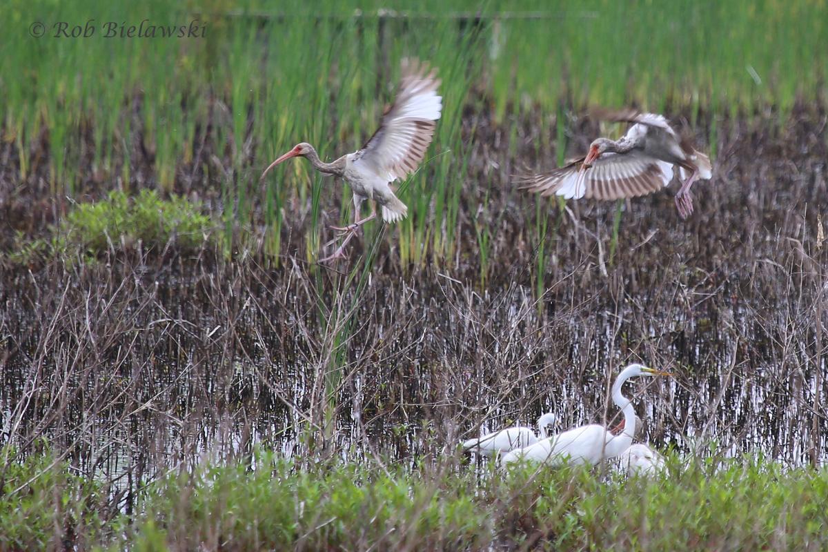 Great Egret, Snowy Egret & White Ibis / 4 Jun 2016 / Princess Anne WMA (Beasley Tract)