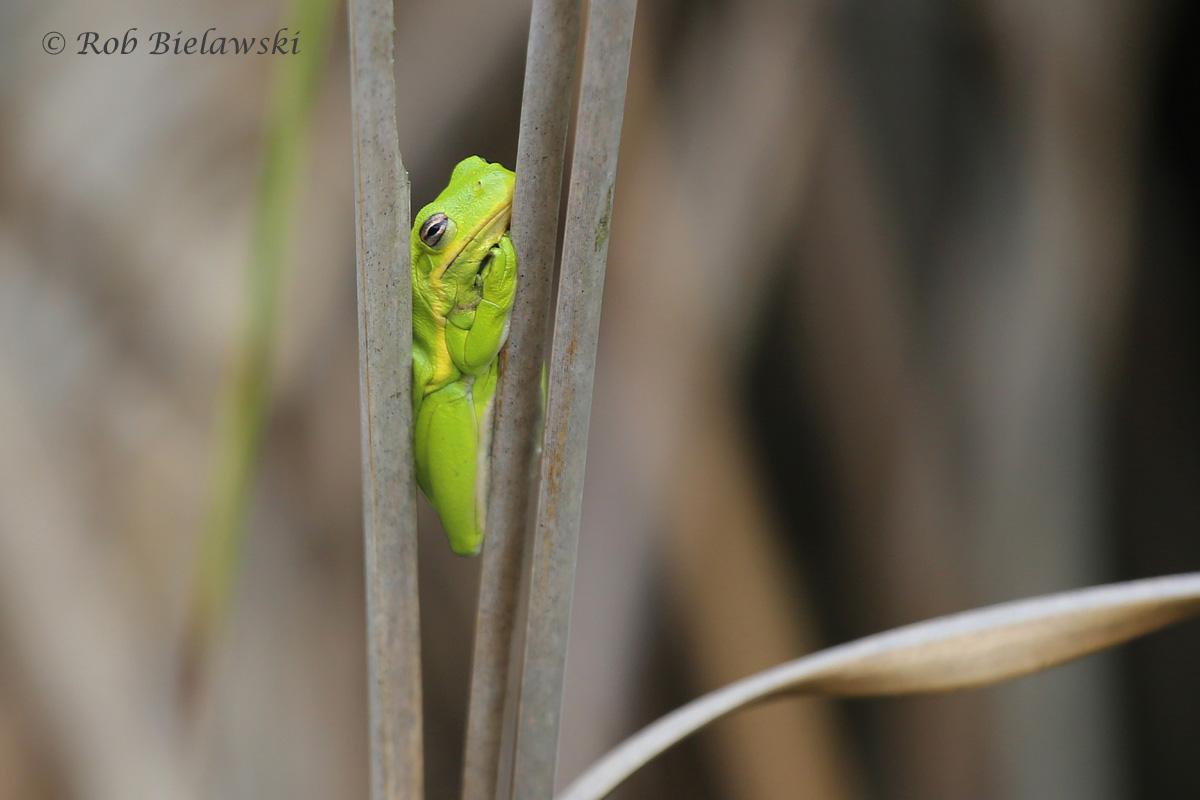 Green Treefrog / 4 Jun 2016 / Milldam Creek Boardwalk (Often times you see more than birds when out birding)
