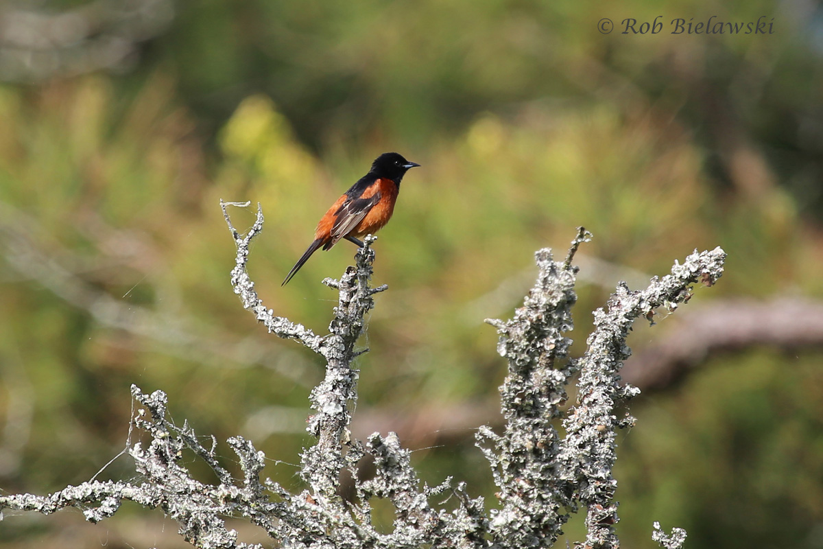 Orchard Oriole / 17 May 2015 / Back Bay NWR
