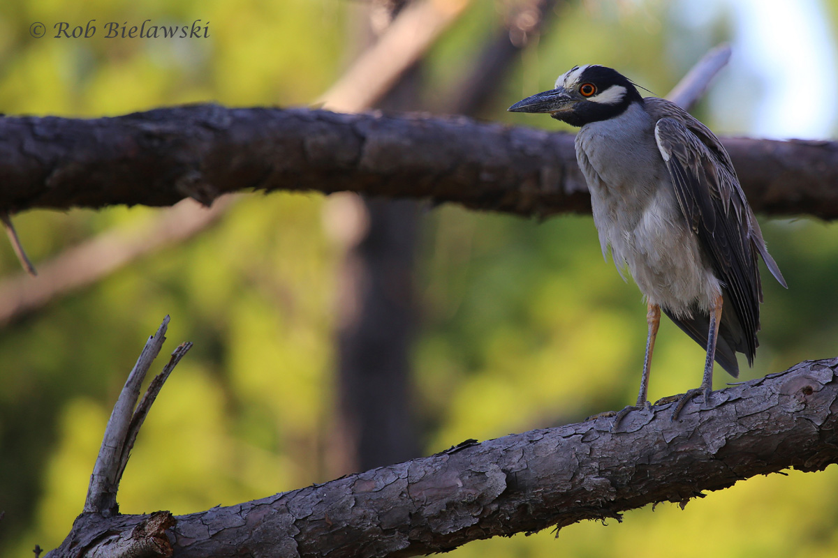 Yellow-crowned Night-Heron / 29 Jun 2016 / Pleasure House Point NA