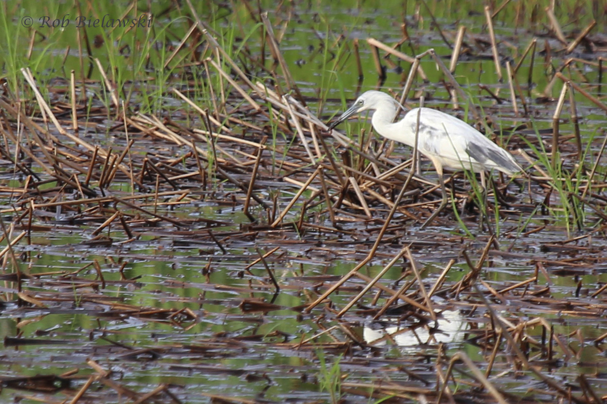 Little Blue Heron / 2 Jul 2016 / Princess Anne WMA