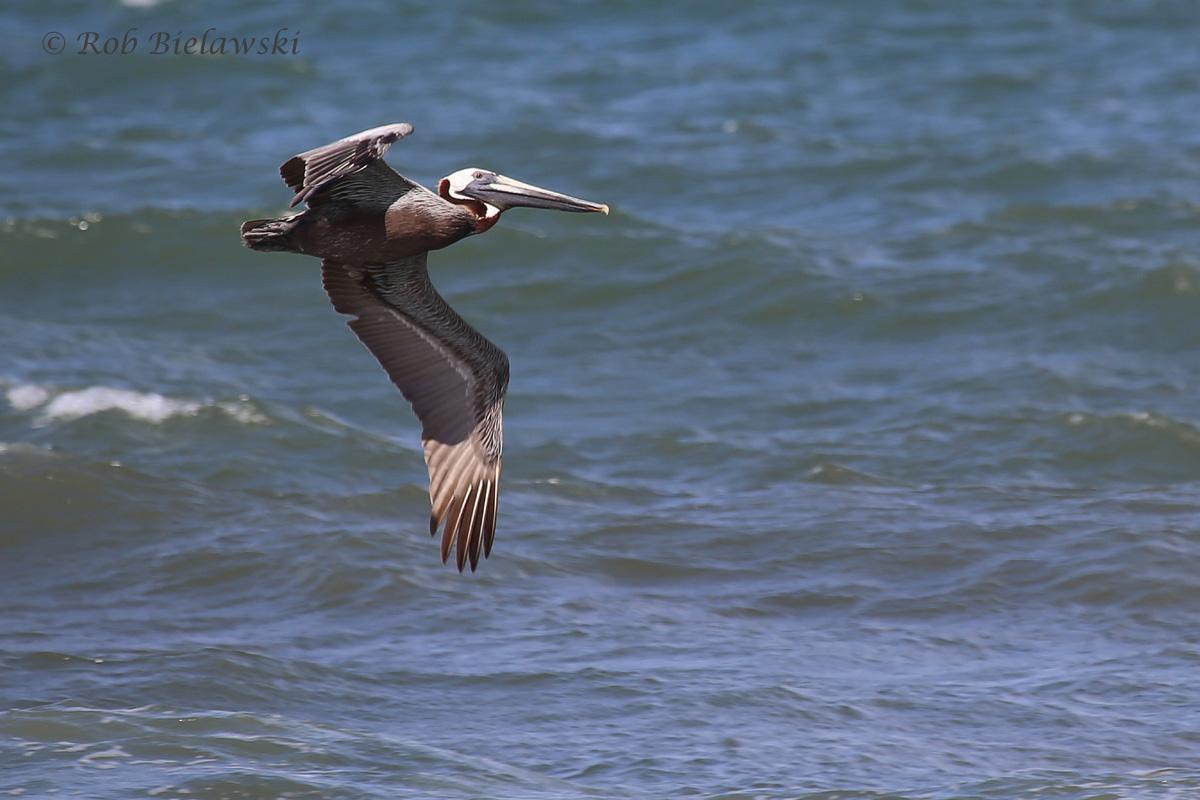 Brown Pelican / 1 Jul 2016 / Back Bay NWR
