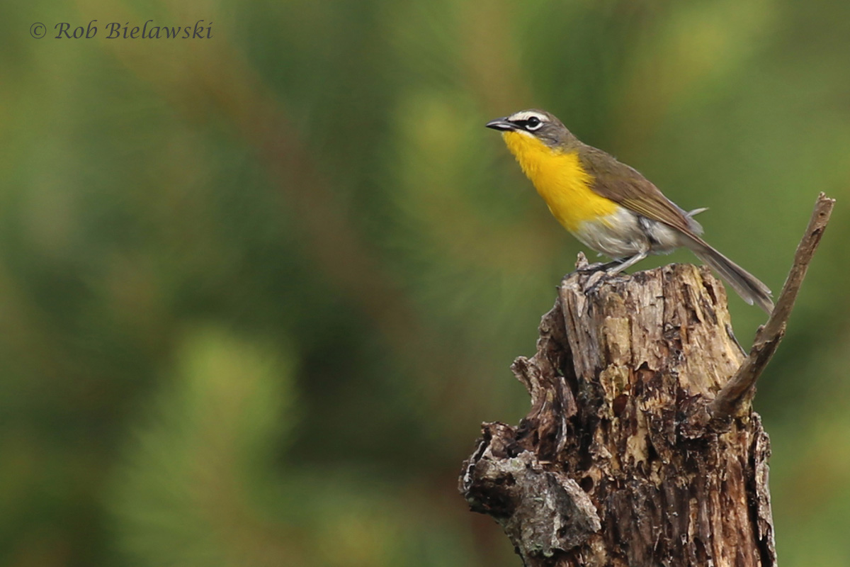 Yellow-breasted Chat / 1 Jul 2016 / Princess Anne WMA WT