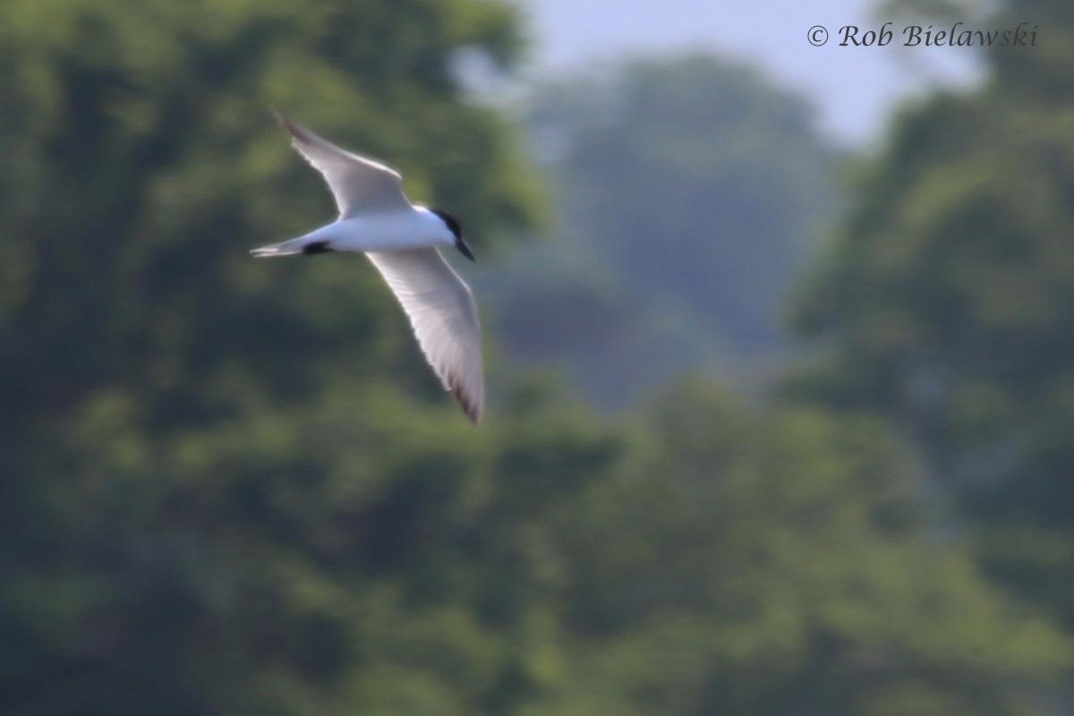 Gull-billed Tern / 6 Jul 2016 / Pleasure House Point NA