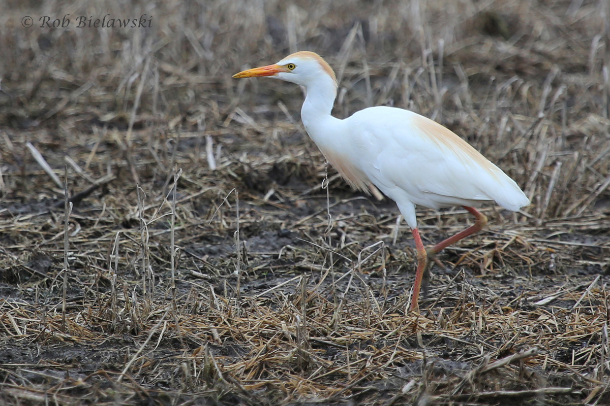 Cattle Egret / 4 Jul 2016 / Muddy Creek Rd.