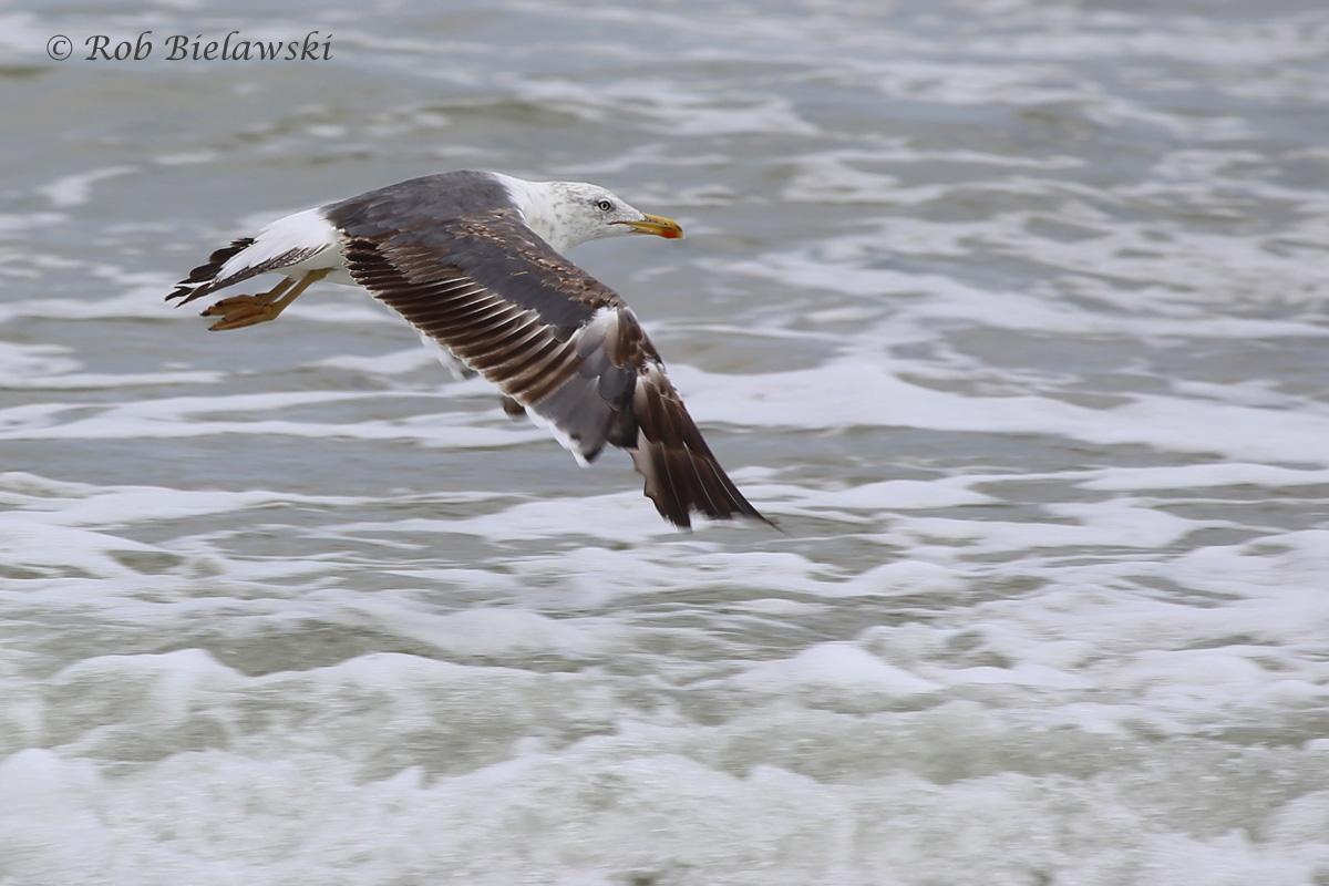 Lesser Black-backed Gull / 16 Jul 2016 / Back Bay NWR