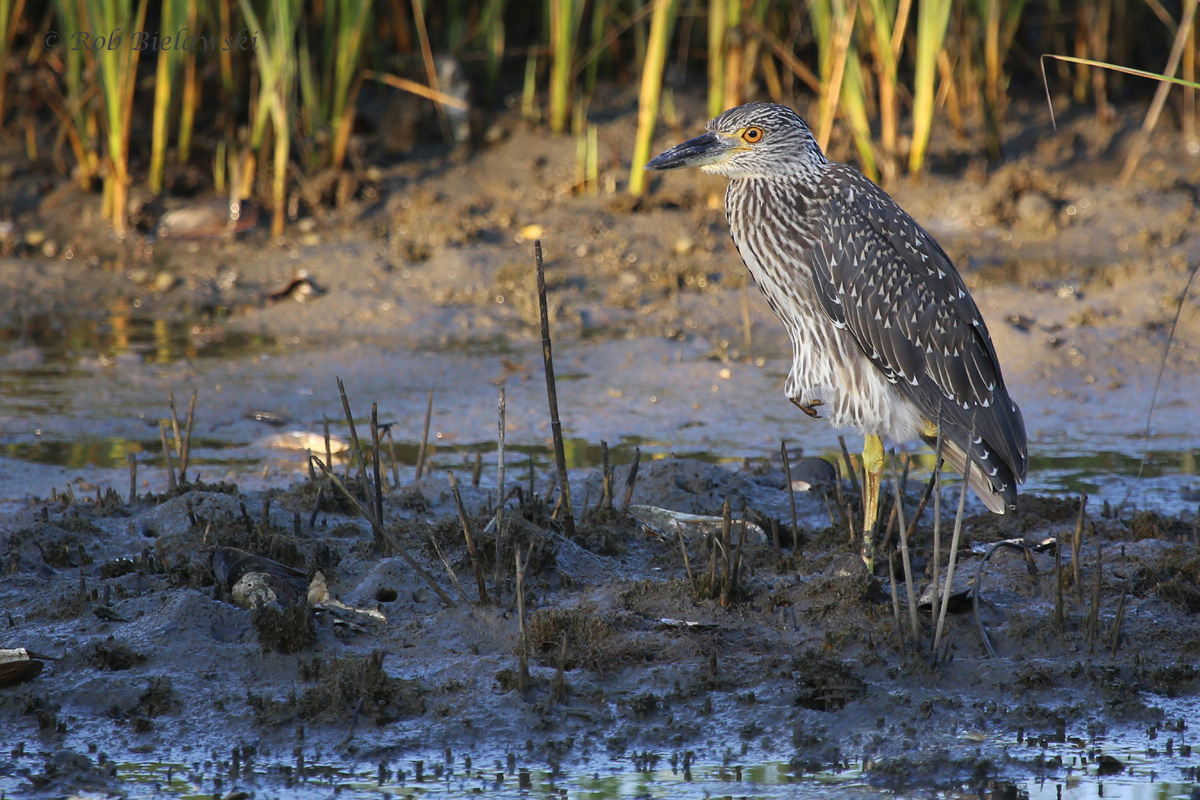 Yellow-crowned Night-Heron / 23 Jul 2016 / Pleasure House Point NA