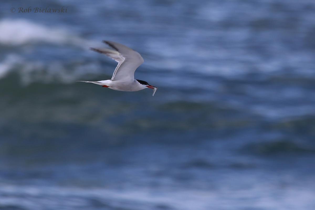 Common Tern / 5 Aug 2016 / Back Bay NWR