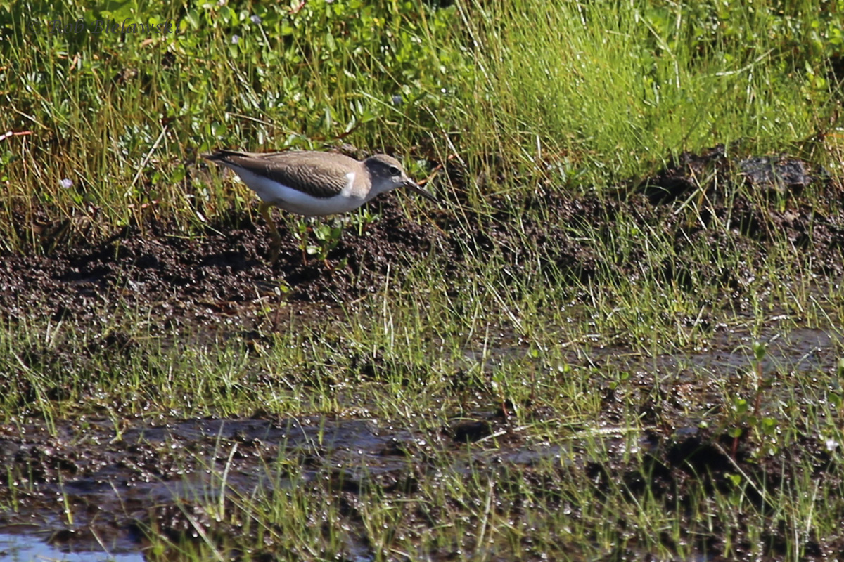Spotted Sandpiper / 20 Aug 2016 / Back Bay NWR