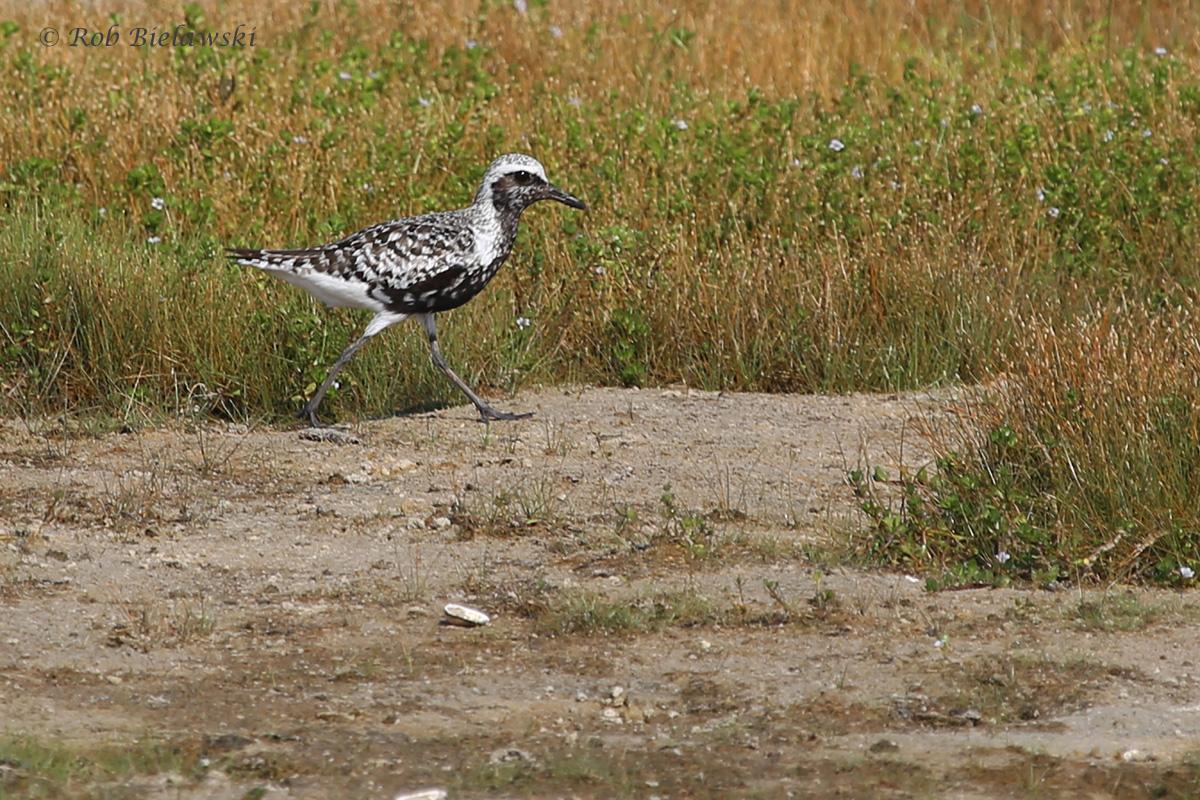 Black-bellied Plover / 26 Aug / Back Bay NWR