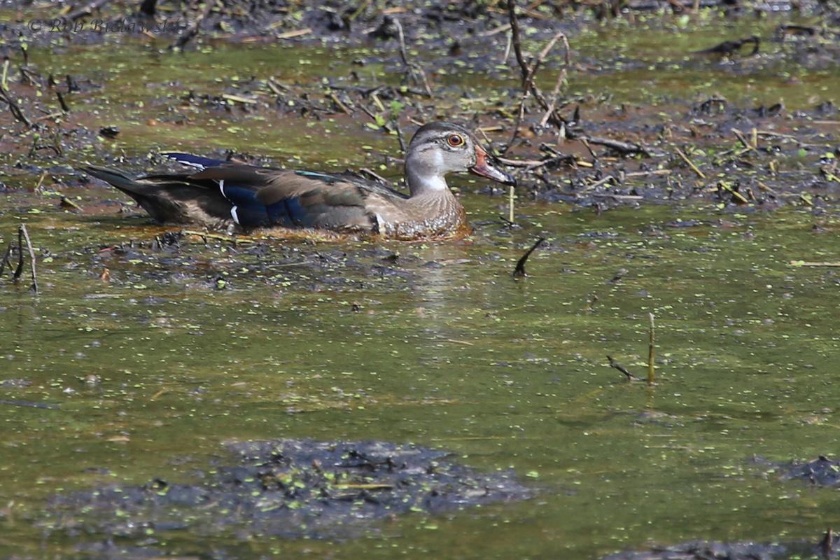 Wood Duck / 28 Aug 2016 / Bayville Farms Park