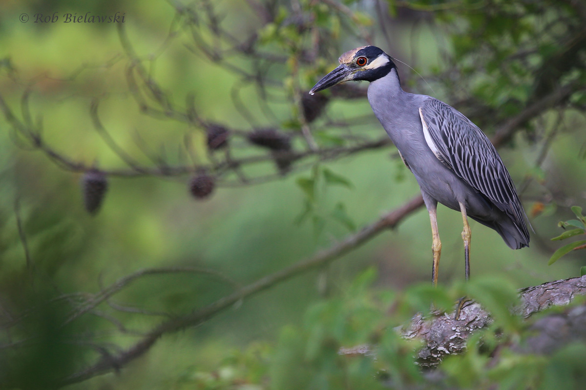 Yellow-crowned Night-Heron / 31 Aug 2016 / Pleasure House Point NA