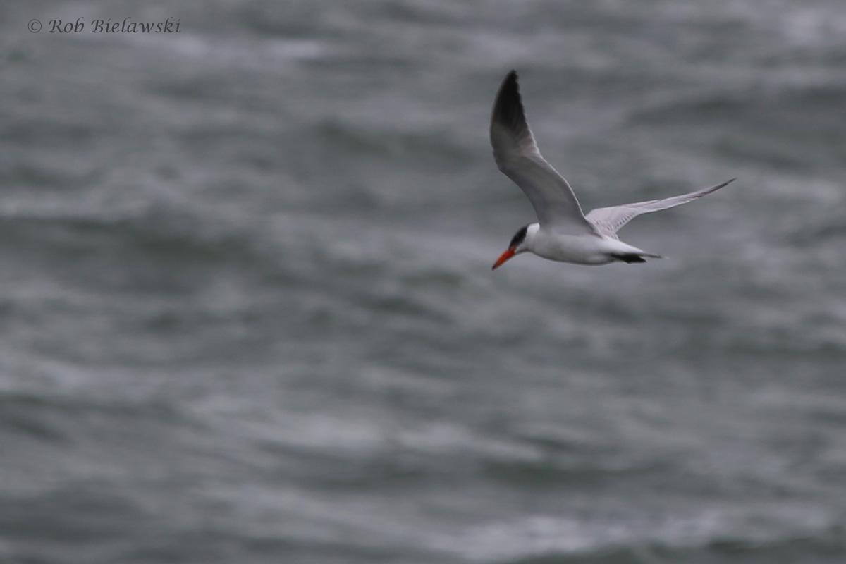 Caspian Tern / 4 Sep 2016 / South Thimble Island