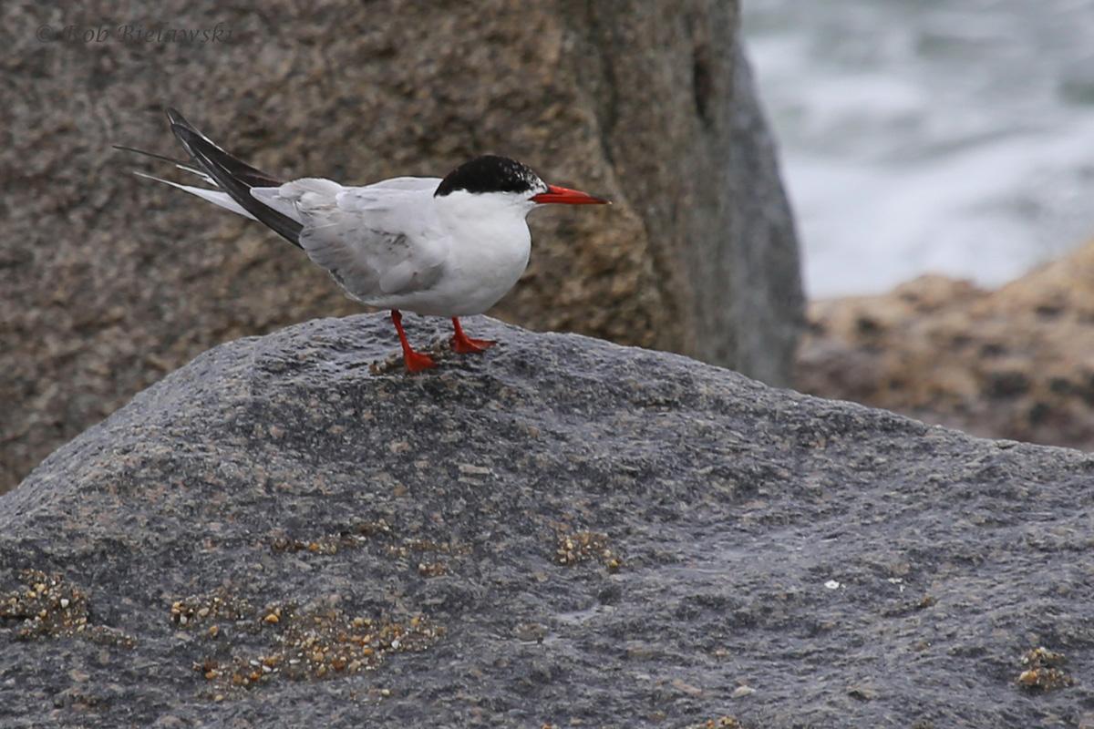 Common Tern / 4 Sep 2016 / South Thimble Island