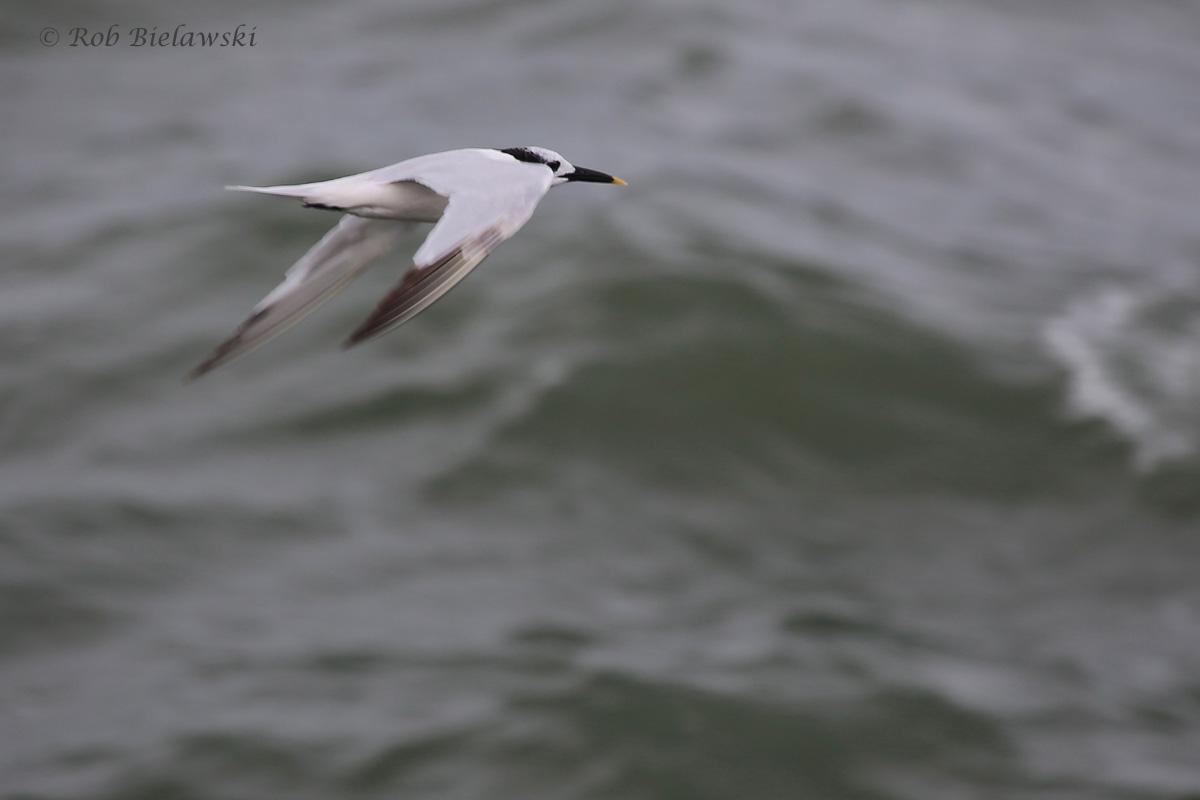 Sandwich Tern / 4 Sep 2016 / South Thimble Island