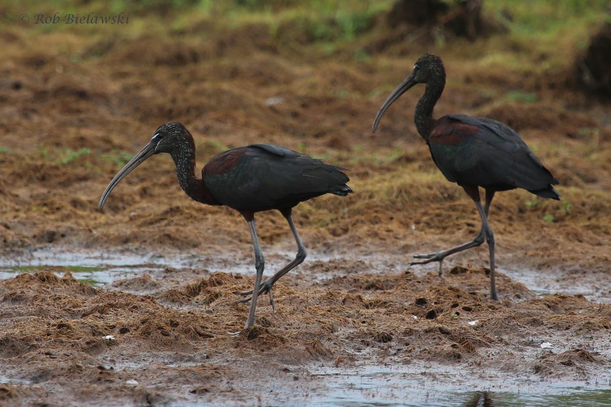 Glossy Ibis / 2 Sep 2016 / Back Bay NWR
