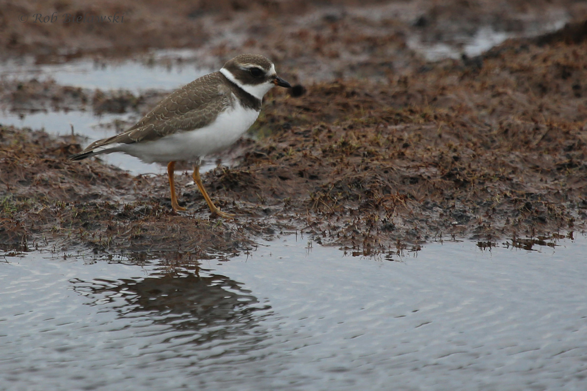 Semipalmated Plover / 2 Sep 2016 / Back Bay NWR