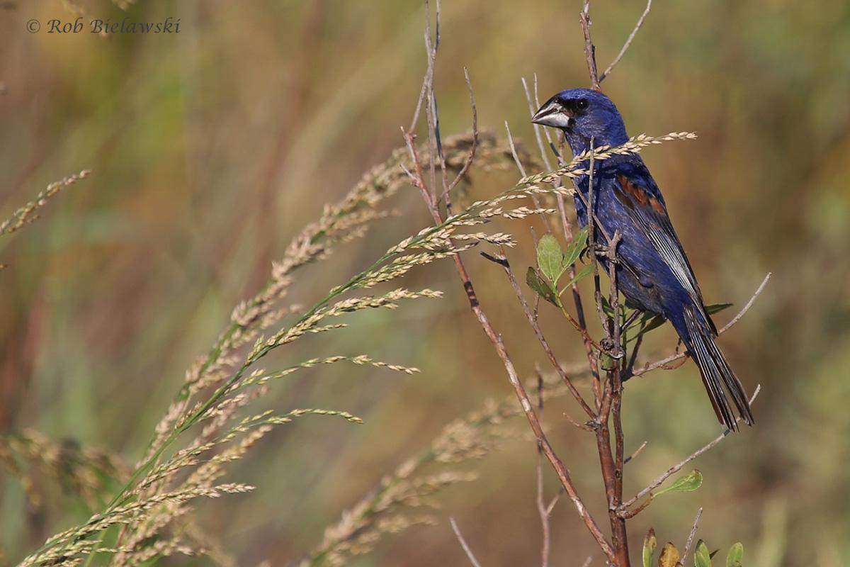 Blue Grosbeak / 7 Sep 2016 / Pleasure House Point NA