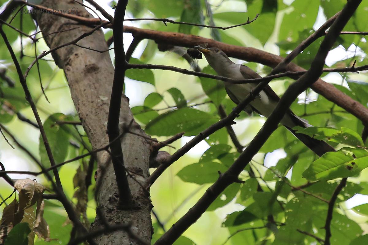 Yellow-billed Cuckoo / 10 Sep 2016 / Stumpy Lake NA