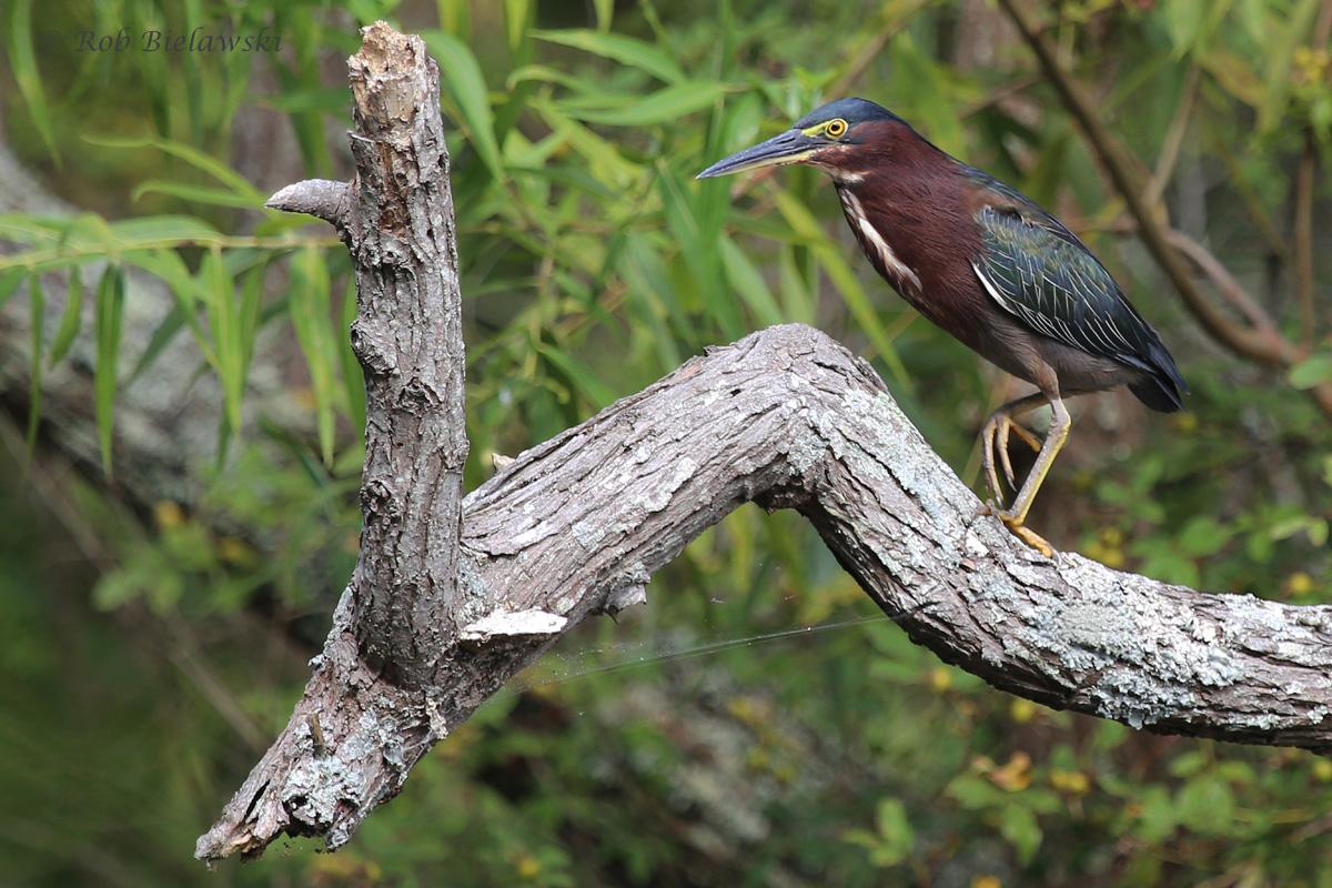 Green Heron / 10 Sep 2016 / Stumpy Lake NA