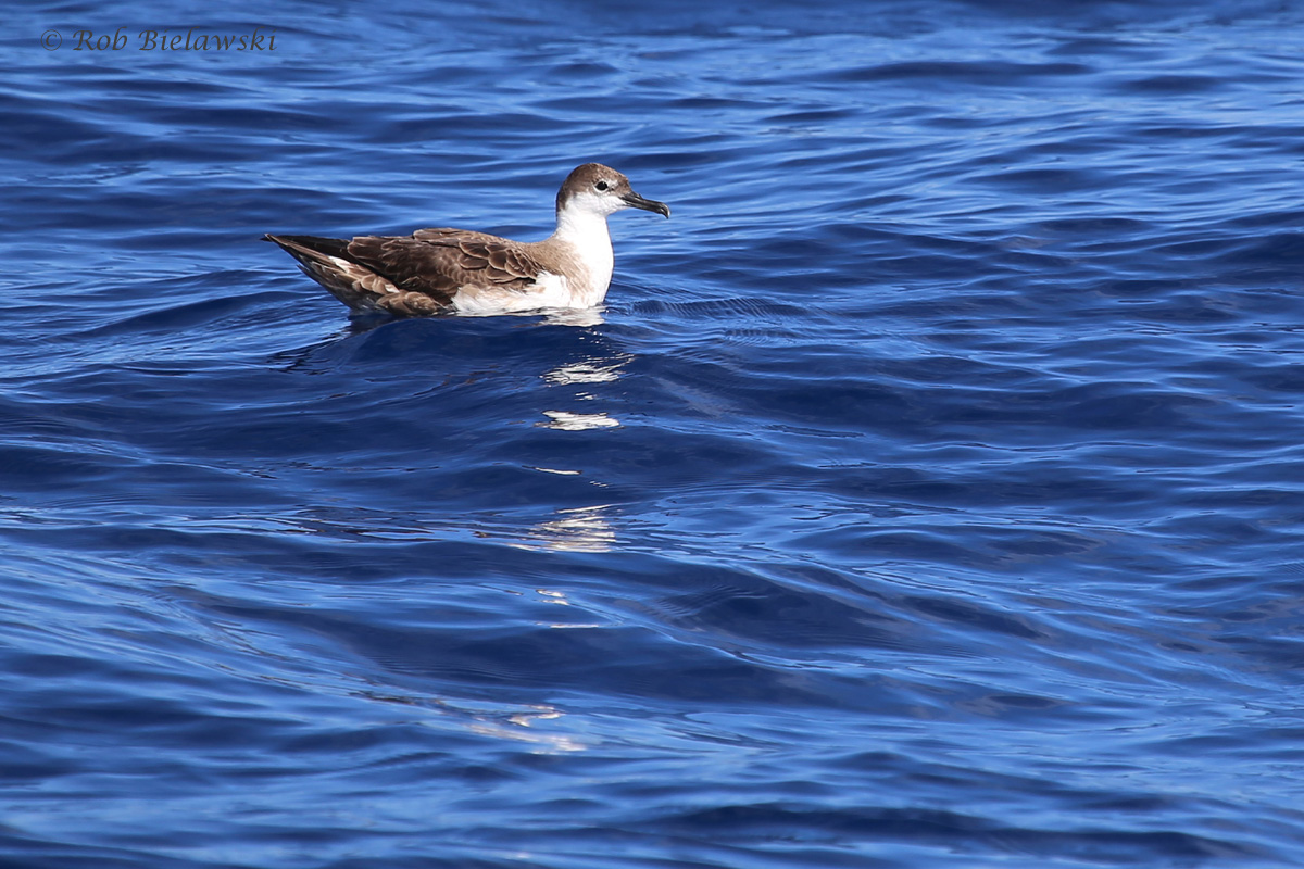Great Shearwater / 18 Sep 2016 / Offshore Waters