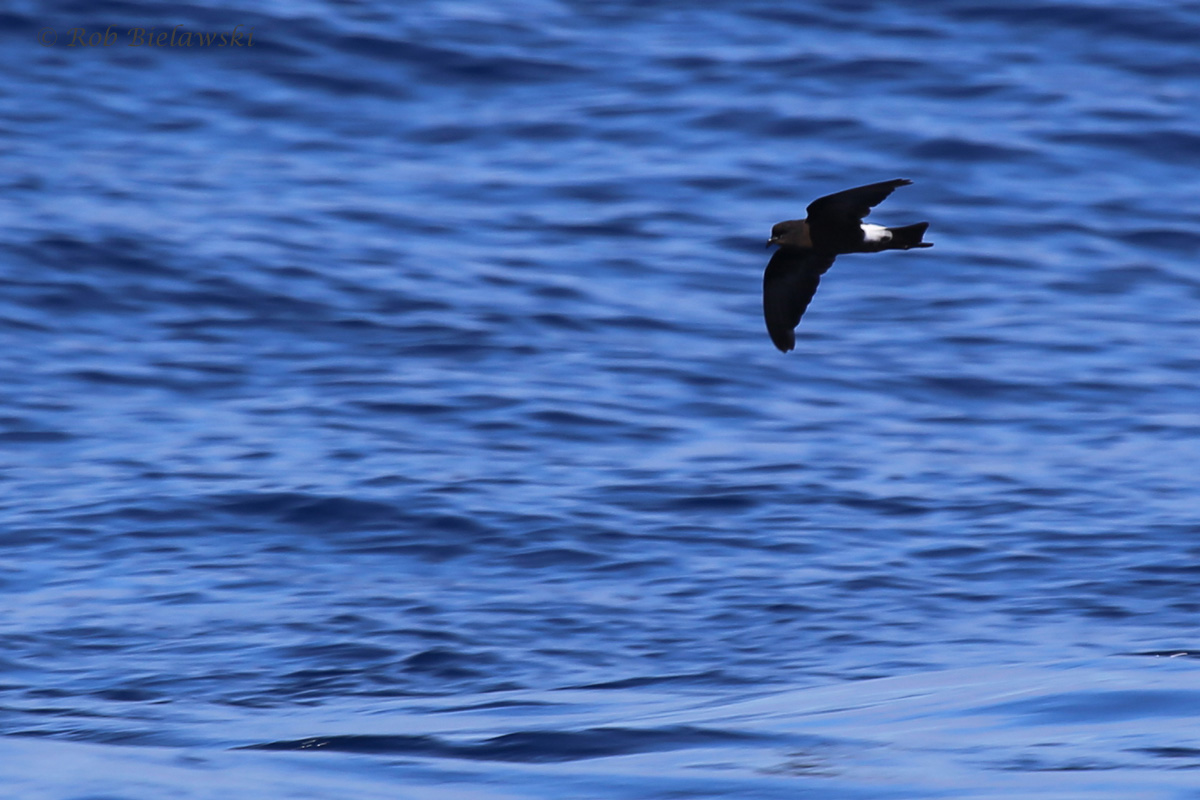 Wilson's Storm-Petrel / 18 Sep 2016 / Offshore Waters