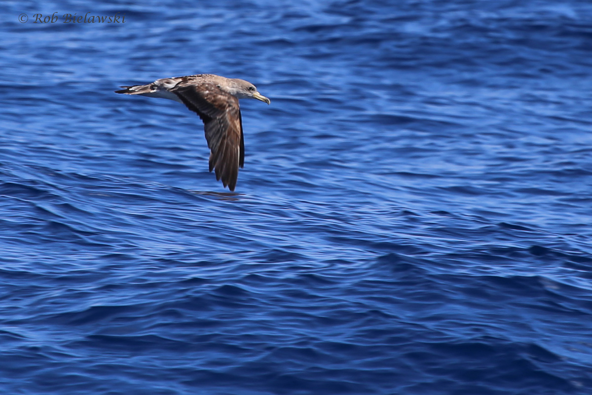 Cory's Shearwater / 18 Sep 2016 / Offshore Waters