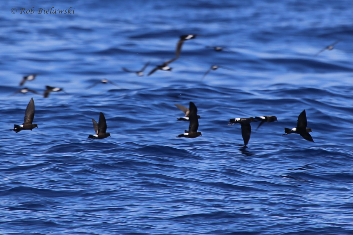Wilson's Storm-Petrels / 18 Sep 2016 / Offshore Waters