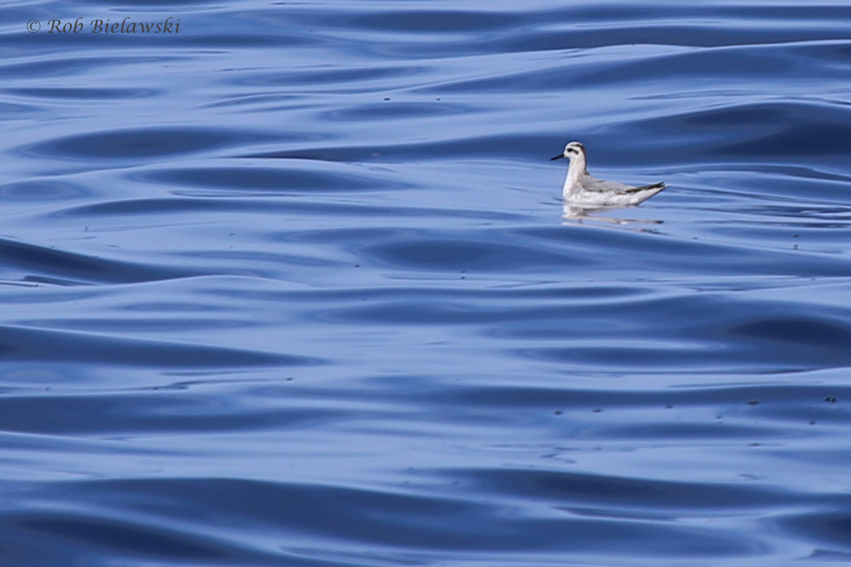 Red Phalarope / 18 Sep 2016 / Offshore Waters