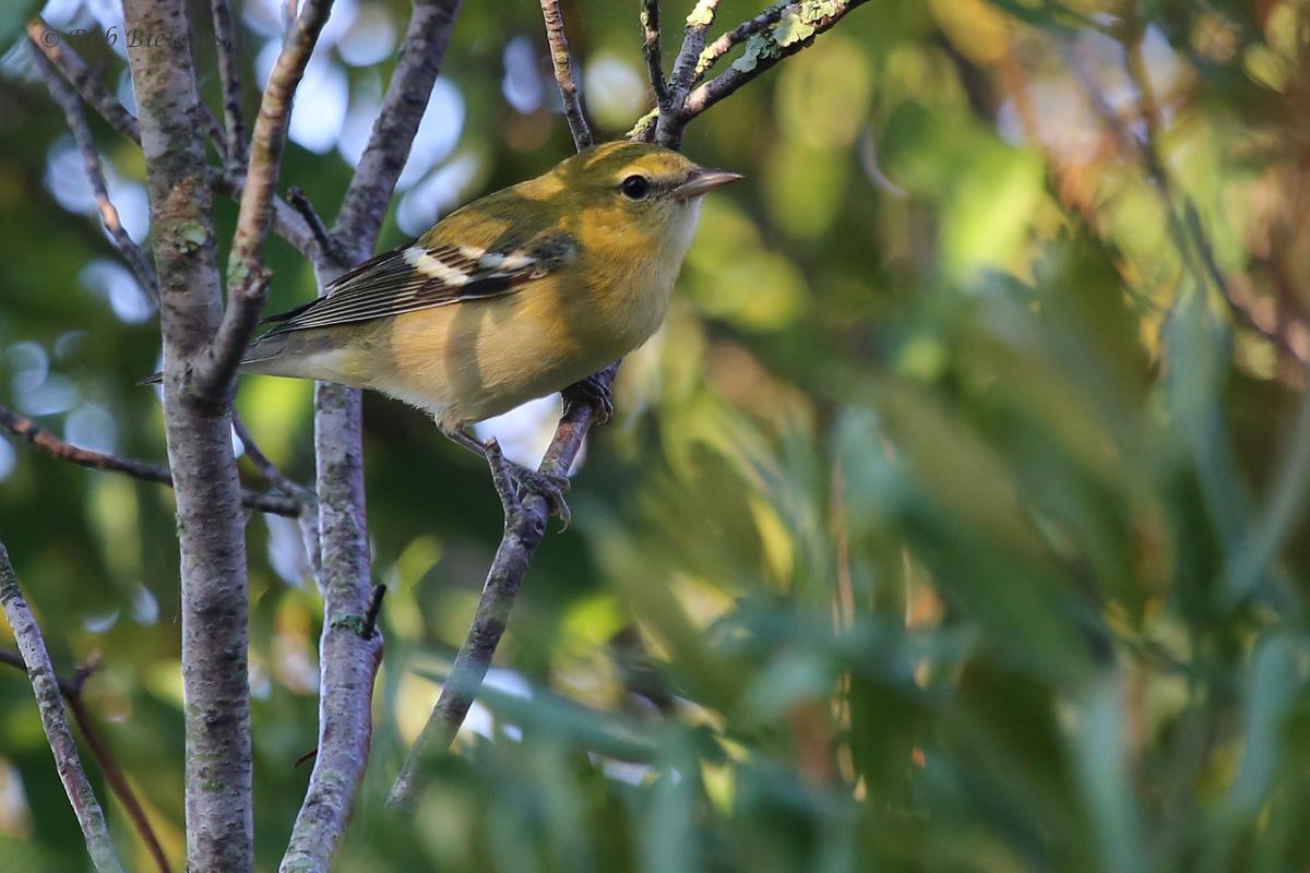 Bay-breasted Warbler / 24 Sep / Back Bay NWR