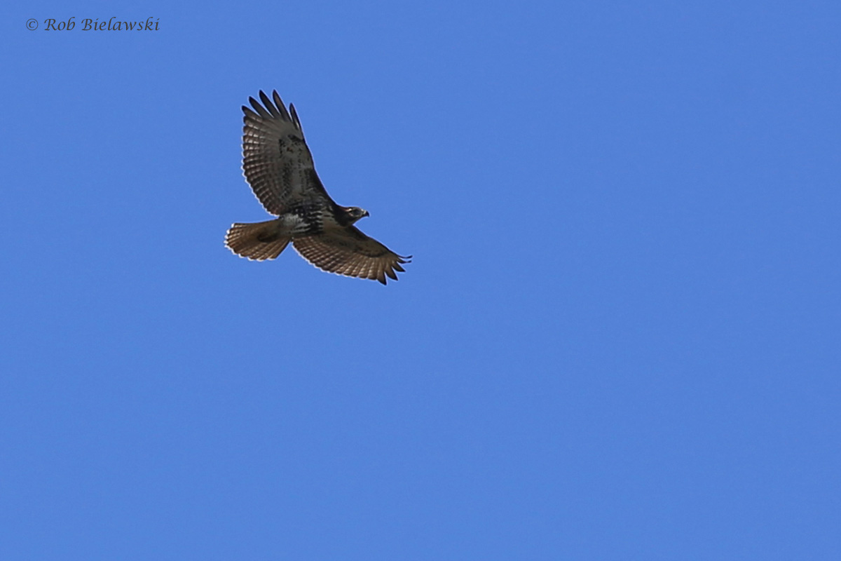 Red-tailed Hawk / 24 Sep / Pleasure House Point NA