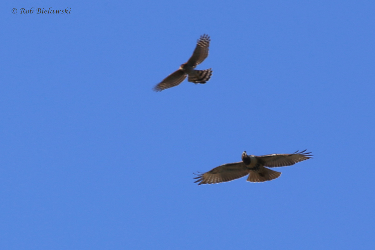 Cooper's & Red-tailed Hawks / 24 Sep / Pleasure House Point NA