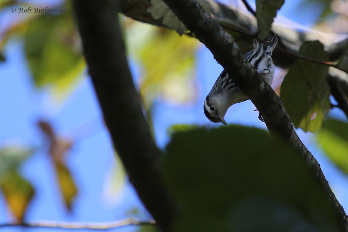 Black-and-white Warbler / 25 Sep / Witt Park