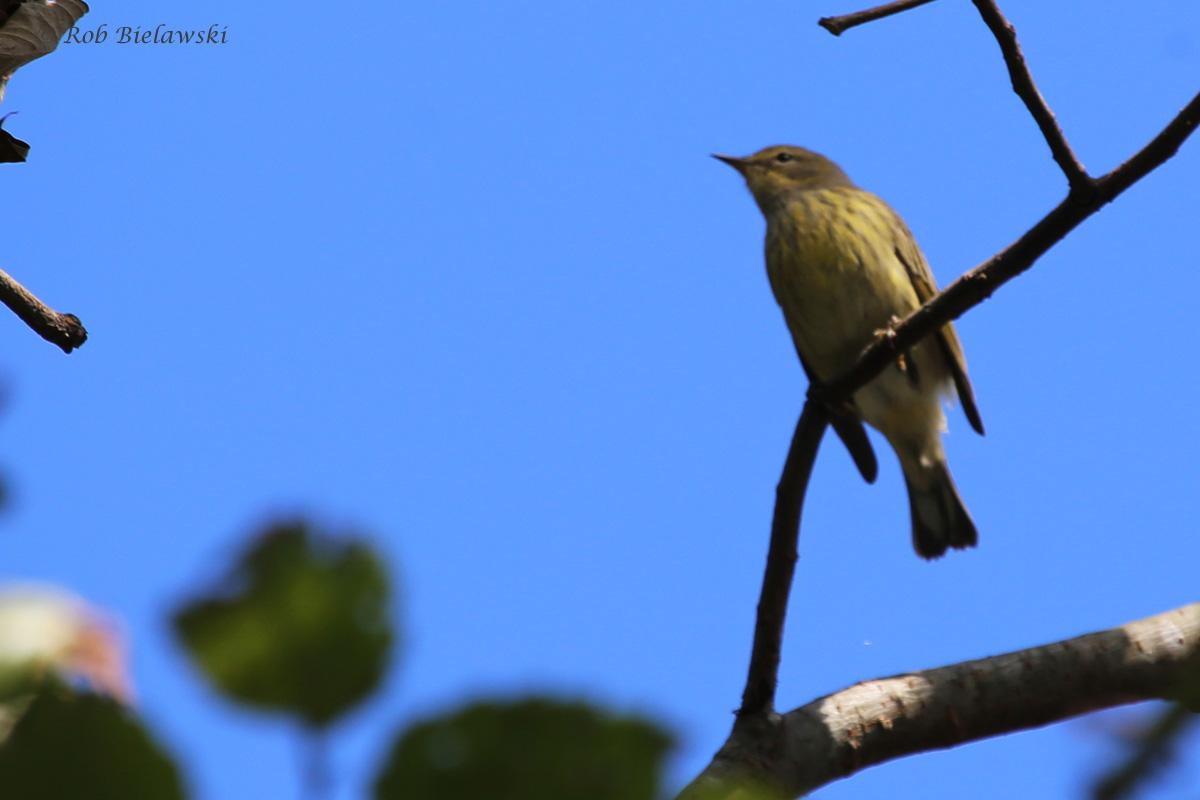 Cape May Warbler / 25 Sep / Witt Park