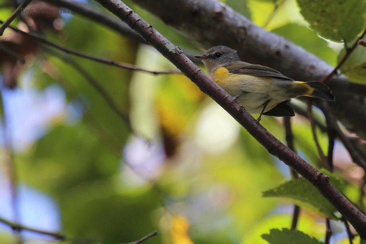 American Redstart / 25 Sep / Witt Park